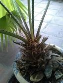 老友台北家盆栽植物:13811.jpg