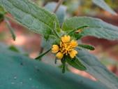 復旦三月花朵:DSC03089豨薟黃花.JPG