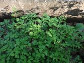 復旦三月花朵:DSC03075.JPG