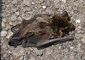 哺乳綱 (貂科、熊科、蝙蝠、松鼠、袋鼠、海豚、鯨魚、海獅):蝙蝠-棕蝠
