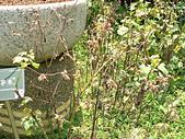菊科植物:P2140798.JPG