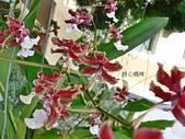 蘭花專輯:香水文心蘭