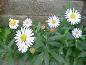 菊科植物:P2110346