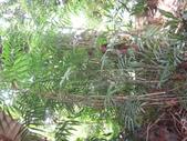 夏威夷椰子黃花序及黑果子:DSC05528夏威夷椰子、雪佛里椰子.JPG