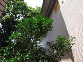 後院種25年的柚子樹首次結果:DSC00513.JPG