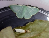 復旦-新天母公園的昆蟲2017/11:DSC02462綠翠尺蛾與空蛹.JPG