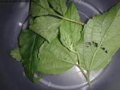 龜紋瓢蟲一齡幼蟲剛孵化~蛹~羽化:DSC04656野桑蚜蟲.JPG