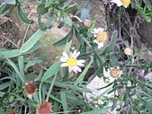 菊科植物:P2130799