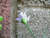 菊科植物:P2110362