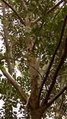 獨角仙寄居台灣光蠟樹:35463台灣光蠟樹、白蠟樹、白雞油.jpg