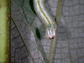 大雪山昆蟲與蜘蛛:DSC07872.JPG