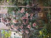 107~108年,復旦社區新的花草:DSC08005煙火樹.JPG