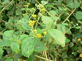 菊科植物:P2130844
