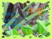 昆蟲問安卡-午安:午安!白痣珈蟌(雌).jpg