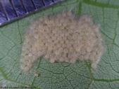 斜紋夜蛾卵~幼蟲~蛹~成蛾羽化:DSC05714斜紋夜蛾鵝黃色圓卵.JPG