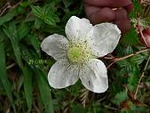 驚豔的花朵(白色系):薄瓣懸鉤子白花
