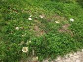 公園草坪比手掌大的二種傘菇 105.9.18~19:DSC02916.JPG
