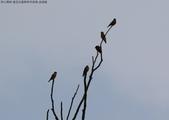 復旦社區稀有冬侯鳥-金翅雀:N74A4462.JPG