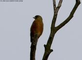 復旦社區稀有冬侯鳥-金翅雀:N74A4470a.jpg