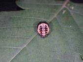 復旦-新天母公園的昆蟲107/1:DSC09797.JPG