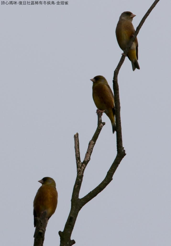 復旦社區稀有冬侯鳥-金翅雀:N74A4471金翅雀.jpg