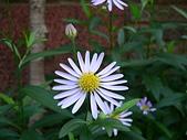 菊科植物:P2110345