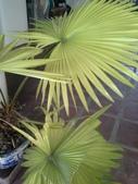 老友台北家盆栽植物:13805黃棕櫚.jpg