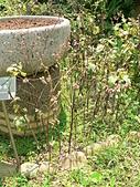 菊科植物:P2140797.JPG