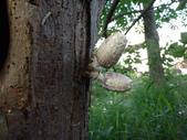 野菇蕈-復旦109~110年:DSC08499鱗狀墨汁似鬼傘-構樹.JPG
