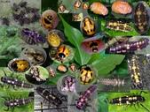 龜紋瓢蟲一齡幼蟲剛孵化~蛹~羽化:龜紋瓢蟲幼蟲~羽化.jpg