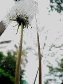 菊科植物:白色世界