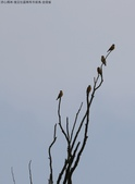 復旦社區稀有冬侯鳥-金翅雀:N74A4465.JPG