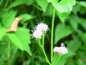菊科植物:P2160246