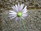 菊科植物:P2110361