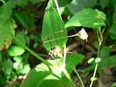 菊科植物:貓腥草黑瘦果