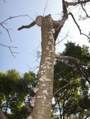 野菇蕈-復旦109~110年:DSC08077山櫻花樹幹.JPG