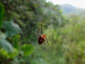 雙溪丁蘭谷生態園區的蜘蛛:DSC03877赤腹寄居姬蛛(雌).JPG