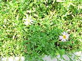 菊科植物:P2140622