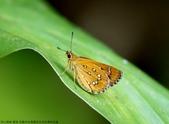 雙溪-老農夫生態農莊及虎豹潭的昆蟲:074A4116狹翅弄蝶.JPG