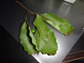 復旦-新天母公園的昆蟲2017/11:DSC01663樟葉.JPG