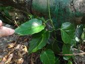 雙溪-老農夫生態農莊及虎豹潭的植物:DSC03547.JPG