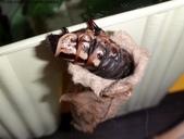 樟葉蓑蛾幼蟲~蛹與蠕狀母蛾現身:DSC02989落跑到飼養盒外爬行.JPG