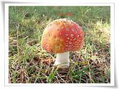 野生菇蕈天地 970810/971026日本北海道:橘紅色大地菇-毒蠅傘