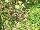 菊科植物:P2140796.JPG