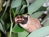 樟葉蓑蛾幼蟲~蛹與蠕狀母蛾現身:DSC02802蓑蛾幼蟲.JPG