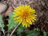 菊科植物:西洋蒲公英花朵