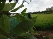 黑點捲葉象鼻蟲的卵苞搖籃:DSC06292朴樹.JPG