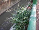 復旦三月花朵:DSC03127桔梗蘭.JPG