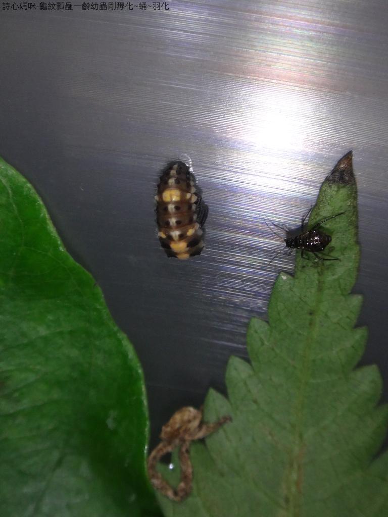 龜紋瓢蟲一齡幼蟲剛孵化~蛹~羽化:DSC05563Day 10.JPG