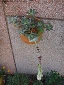 復旦社區花草(106~107年冬天):DSC08553厚葉多肉植物-星美人開紅花.JPG